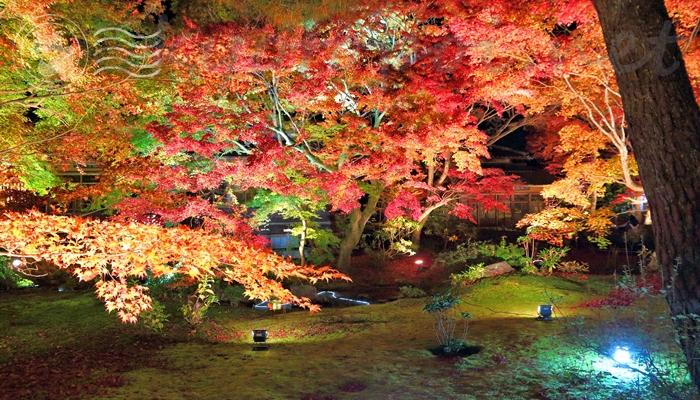 宝厳院の獅子吼の庭 秋の紅葉 ライトアップされた夜間の場合
