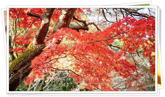 平安神宮の紅葉