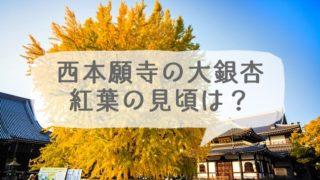 西本願寺にある大銀杏の紅葉の見頃は?