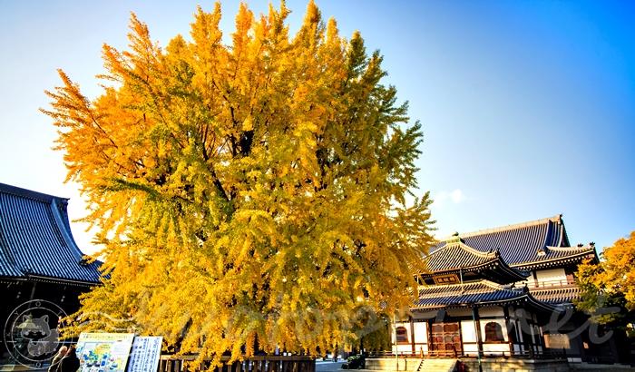 西本願寺にある銀杏の紅葉の見頃や所要時間は?
