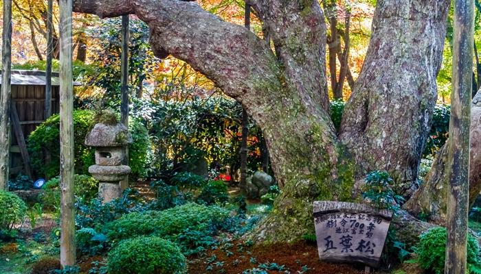 京都の大原にある宝泉院の五葉の松
