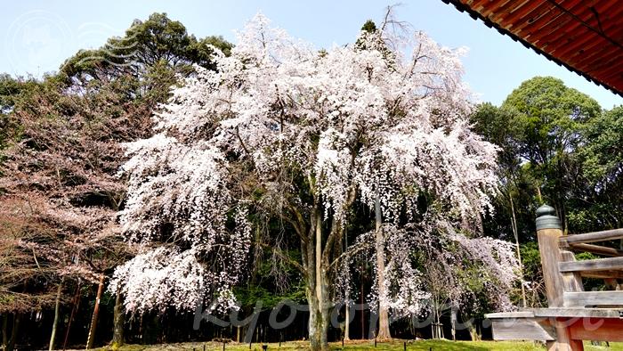 京都の世界遺産 醍醐寺の桜