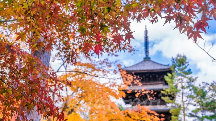 京都の世界遺産 仁和寺の紅葉と五重塔