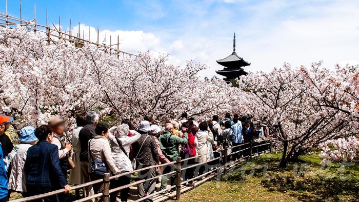 京都の世界遺産 仁和寺の御室桜と五重塔