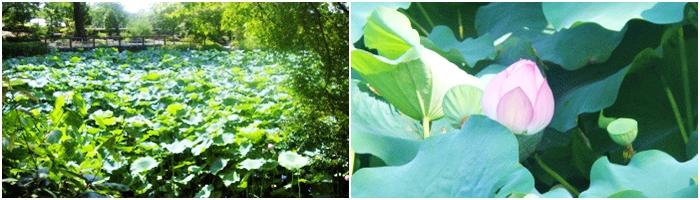 京都の宇治にある萬福寺 蓮の花